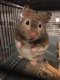 This sub is dedicated to hamsters and their humans. Hamsters, Little Man, Handsome, Pets, Animals, Animaux, Animal, Animales, Animais