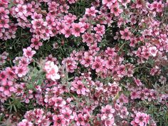 Plant photo of: Leptospermum scoparium 'Gaiety Girl' New Zealand Tea Tree (in our yard) 3-6'; low H2O; clay soil dry conditions If kept trimmed might be in a drift
