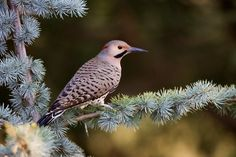 Official Birds of Every State  |  ALABAMA - Yellow-hammer (aka Northern Flicker).