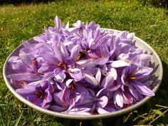 Fron my family's town in Italy! ~Gina  #Saffron from L'Aquila #Abruzzo.  Great for cooking delicacies. It is also an antioxidant, fights anxiety and stress. To obtain 1 kg of genuine and authentic  zafferano are necessary about 200,000 flowers and 500 hours of work.