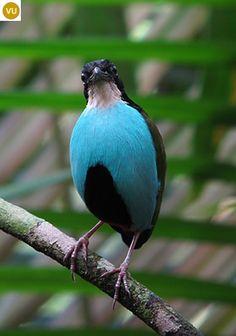 Chim Đuôi cụt ức thiên thanh Philippines Azure-breasted pitta (Pitta steerii)(Pittidae) IUCN Red List : Vulnerable (VU)(Loài sắp nguy cấp)