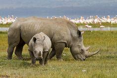 Africa | Rhino's at Lake Nakuru - Kenya | © Johan Gerrits
