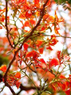 Flowers of a Delonix Regia (aka Royal Poinciana, or Flamboyant Tree). Photo by Saad Akhtar on Flickr