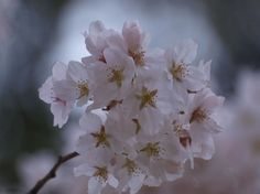 ソメイヨシノ 桜 構造 - Google 検索