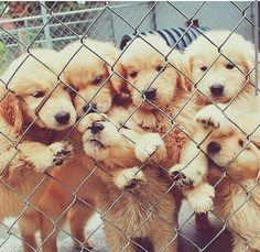 Golden retrievers too many to choose from