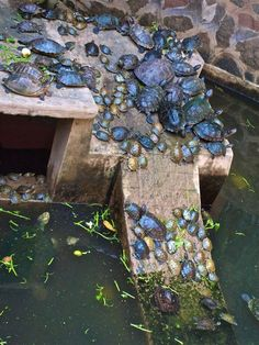 Turtles... so many turtles!   A great idea for a sunning spot for turtle friends.  Visit our page here: http://what-do-animals-eat.com/what-do-turtles-eat/  #turtles #turtle #petturtle #whatdoturtleseat