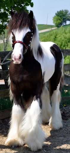gypsy Vanner horse.....beautiful. I have heard that these horses will bite a hunk out of you. Maybe they don't want their beautiful hair messed up.