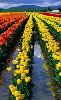 Skagit Valley tulip fields in Mount Vernon, Washington • photo: Inge Johnsson on PhotoShelter