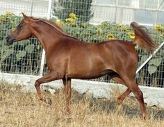 216 Haszuna B (Ansata Nile Pasha  x  227 Ibn Galal I) 1995 chestnut mare - Straight Egyptian; Hadban Enzahi Strain - Idan Atiq Arabian Stud