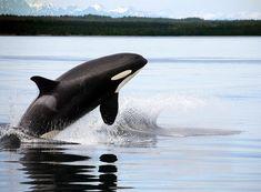 Whale Watching in Juneau, Alaska                                                                                                                                                      More