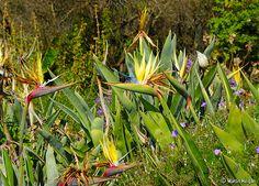 Strelitzia flowers in South Africa