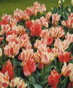 Tulip Quebec - Greigii Tulips - Tulips - Flower Bulb Index