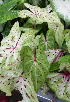The bold, heart-shaped leaves of caladiums are unmistakable in the summertime garden. Variations of dots and spots in red, pink, white and green make them a favorite for sunny borders, containers and window boxes. Easy to grow from bulbs, or buy in containers. Learn more about summer window box plants from The Home Depot's Garden Club.