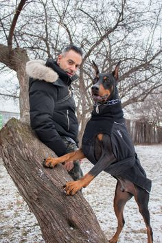 """Tigo a 2-year-old Doberman Pinscher. Tigo comes from a line of award winning Dobermans called """"Gatehouse Dobermans"""". They specialize in the European bloodline, which is bigger than the American Doberman. Also they have an amazing reputation for breeding f"""