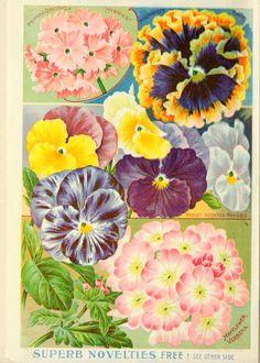 """Childs' rare flowers, vegetables & fruits"" ~ varieties of pansies and verbena, 1901."