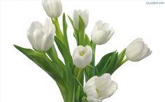 Łodygi, Białe, Tulipany
