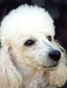 POODLE DOGS Did God create poodles? Of course, who else could make such a beautiful, lovable creature? I Love Dogs, Cute Dogs, Poodle Cuts, French Dogs, Poodle Grooming, Dog Life, Best Dogs, Dog Breeds, Cute Animals