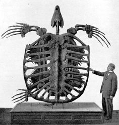 Archelon ischyros, giant sea turtle, 75-65 million years ago - Late Cretaceous, North America was mostly covered by shallow, tropical sea. 13' x 16' wide, estimated weight 4900lb, estimated 100 year lifespan. Yale Peabody Museum. Upper Pierre Formation of South Dakota in 1895 by Dr. G. R. Wieland.