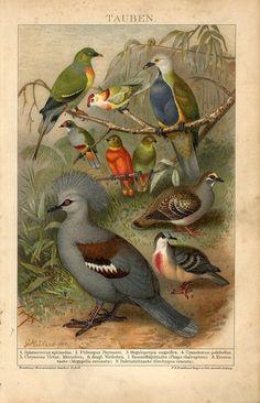 1894 Pigeon Dove Birds Antique Chromolithograph Print G Mutzel Bird Illustration, Botanical Illustration, Animal Illustrations, Dove Bird, Vintage Birds, Antique Prints, Wild Birds, Bird Prints, Botanical Prints