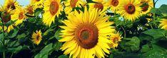 Le tournesol ou Helianthus annuel est cultivé pour ses graines autant que pour ses spectaculaires fleurs estivales. Découvrez nos conseils pour le planter, réussir le semis et bien le cultiver au jardin ou en pot ! Plants