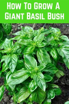 How To Grow A Giant Basil Bush: A Pro Gardener Reveals Their Secret The best way to ensure that a plant grows to its maximum potential is to give it what it needs. In the case of basil, it is a lot of warmth, plenty of bright sunlight and Veg Garden, Edible Garden, Lawn And Garden, Fruit Garden, Growing Herbs, Growing Vegetables, Planting Vegetables, Plant Care, Garden Projects