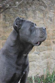 Cane Corso Italian Mastiff, Cane Corso Italiano, Cane Corso Mastiff, Cane Corso Dog, Pitbull, Cute Cats And Dogs, Big Dogs, Blue Cane Corso, Italian Dogs