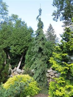 Weeping White Spruce - this tree = pure awesome!  So narrow, great accent near a tall house, or in the garden for contrast - Picea glauca 'Pendula'