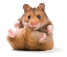hamsters - Buscar con Google