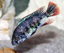 "MALE Paralabidochromis sp. ""red fin piebald"" 1.5 inch Live Fish African Cichlid"