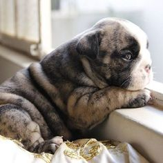 The major breeds of bulldogs are English bulldog, American bulldog, and French bulldog. The bulldog has a broad shoulder which matches with the head. Cute Bulldog Puppies, Baby Bulldogs, Cute Bulldogs, English Bulldog Puppies, Dogs And Puppies, Doggies, Terrier Puppies, Corgi Puppies, French Bulldogs