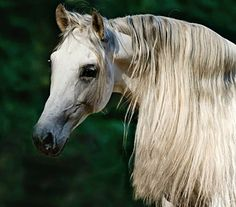 Andalusian stallion, Zingaro. photo: Viktoria Makarova.