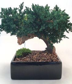 Bonsai Tree #bonsaitrees
