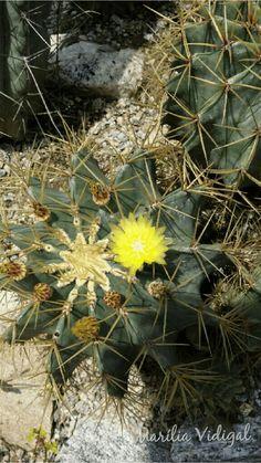 Flor de cactus - Jardim Botânico  - Rio de Janeiro  - Foto: Marília Vidigal Carneiro