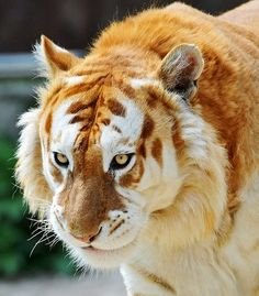 Golden Tiger side view