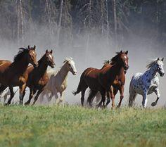 Horses Running - Montana Ranch