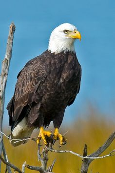 American Bald Eagle | by Brian E Kushner