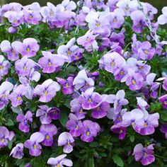 Pansy Trailing Freefall Lavender | Pansy: Trailing Type Pansy Seeds - Growing Trailing Pansy Flowers ...