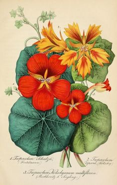 Tropaeolum ( Nasturtium ). Taken from 'Deutsches Magazin fr Garten und Blumenfunde' (1854) by Wilhelm Neubert. The LuEsther T Mertz Library, the New York Botanical Garden Biodiversity Heritage...