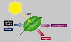 Photosynthesis is the process of plants taking energy from the sun and turning it into oxygen and food.