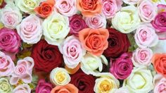 New and best of desktop wallpapers, hd backgrounds for pc & mac, laptop, tablet, mobile phone Share Pictures, Rose Pictures, Flower Photos, Colorful Roses, Beautiful Flowers, Free, Awesome, Plants, Wallpapers