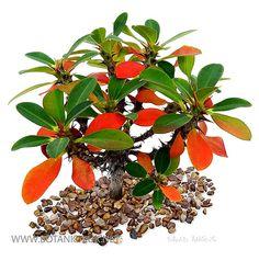 Euphorbia-bulbispina