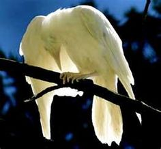 Albino Raven - from: Crows Ravens: White Raven- white spray paint? Beautiful Birds, Animals Beautiful, White Raven, White Wolf, Vida Animal, Jackdaw, Crows Ravens, Rare Animals, Wild Animals