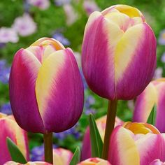 Shop single late tulip bulbs online in the UK. Beautiful tulip flowers with violet petals tipped with white. Purple Tulips, Tulips Flowers, Flowers Nature, Daffodils, Pretty Flowers, Planting Flowers, Beautiful Flowers Garden, Exotic Flowers, Amazing Flowers