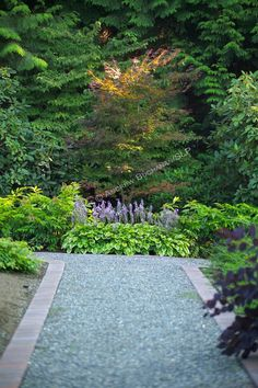 A shallow focus, garden vignette of a brick-edged gravel path leading down the frame and with a focal point of a young Japanese Maple, Acer palmatum, catching late afternoon sunlight, backed by mature evergreen cedar trees and fronted by purple-blooming hostas.