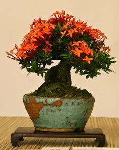 Ashoka bonsai!  Gotta try this, lots of ashoka in Indonesia