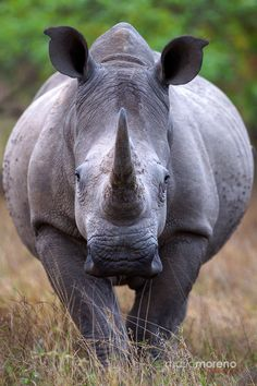 Real unicorns have curves. A portrait of a White Rhino taken in Kruger National…