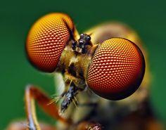yes of a Holcocephala fusca Robber Fly Spider close-up photo: Thomas Shahan