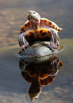 If you have a pet turtle in an aquarium you need a turtle topper above tank basking platform. Turtle Time, Pet Turtle, Cute Turtles, Baby Turtles, Beautiful Creatures, Animals Beautiful, Tortoise Habitat, Tortoise Care, Sulcata Tortoise