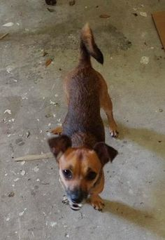 Found Dog - Jack Russell Terrier - Plant City, FL, United States