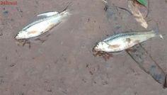 Chuva ácida e poluição matam peixes no Rio Pirapó, em Maringá